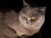 Grey british cat Stock Photos