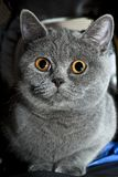Grey british cat close up Stock Photos