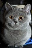Grey british cat close up Stock Photos