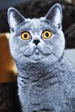 Grey british cat close up Royalty Free Stock Image