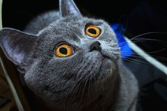 Grey british cat close up Stock Images