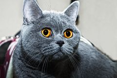 Grey british cat close up Royalty Free Stock Photography