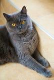 Grey british cat Royalty Free Stock Photography