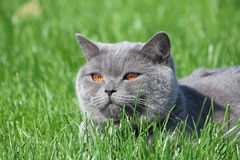 Grey british cat in the grass Royalty Free Stock Image