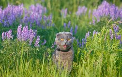 Grey british cat in the grass Royalty Free Stock Photography