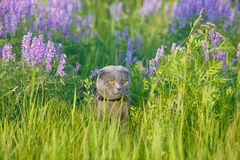 Grey british cat in the grass Royalty Free Stock Images
