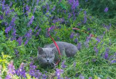 Grey british cat in the grass Stock Image