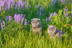 Grey british cat in the grass Stock Photos