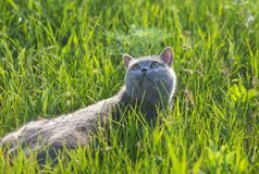 Grey british cat in the grass Royalty Free Stock Photo