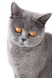 Grey british cat isolated on white Stock Photos