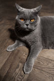 Grey British cat Royalty Free Stock Photo