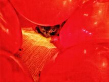 Grey British cat is lying on the floor surrounded by red balloons
