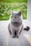 Grey british cat in sunlight. British cat in sunlight in a garden, green lawn Stock Image