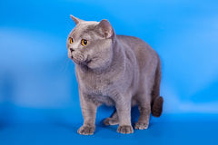 Grey British katt på en blå bakgrund Fotografering för Bildbyråer