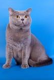 Grey British katt på en blå bakgrund Arkivbilder