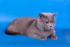 Grey British katt på en blå bakgrund Royaltyfri Foto