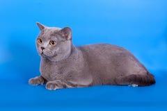 Grey British katt på en blå bakgrund Royaltyfria Foton
