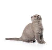 Grey british kitten Stock Images