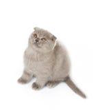 Grey british kitty Stock Photography