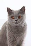 Grey british short hair cat Royalty Free Stock Photos