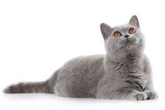 Grey british short hair cat lying Royalty Free Stock Images