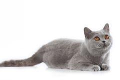 Grey british short hair cat lying Stock Images