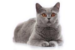 Grey british short hair cat lying Stock Photo