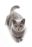 Grey british short hair cat lying Royalty Free Stock Image