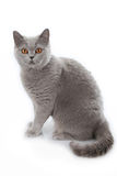 Grey british short hair cat sitting Stock Image