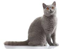 Grey british short hair cat Stock Photos
