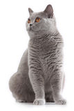 Grey british short hair cat sitting Royalty Free Stock Photo
