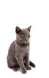 Grey British short hair cat. On a white background Stock Image