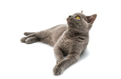 Grey British short hair cat. On a white background Royalty Free Stock Images