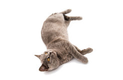 Grey British short hair cat. On a white background Stock Photos