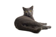 Grey British Short-haired cat Royalty Free Stock Images