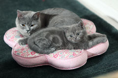 Grey British shorthair cats Stock Photo