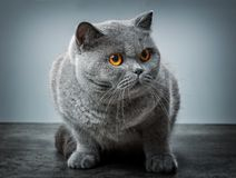 Grey British Shorthair-kat Royalty-vrije Stock Afbeeldingen