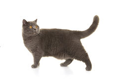 Grey british shorthair at walking and looking back Royalty Free Stock Photography