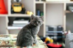 Grey British shorthairkattunge Royaltyfria Foton