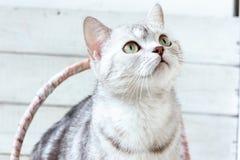 Grey brittish cat. royalty free stock image