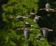 Grey Brown Bird Flying in a Flock Royalty Free Stock Photos