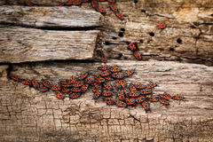 Grey with brown, dry wooden stump  bark residues,  an army of red firebugs on it Royalty Free Stock Photo
