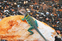 Grey Brown Green Lizard on Stone Stock Photo