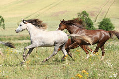 Grey and brown horses running on pasturage Stock Image