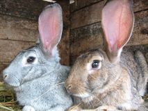 Grey and brown rabbits Royalty Free Stock Photos