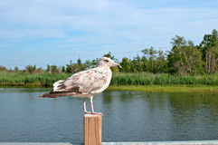 Grey brown seagull sitting Royalty Free Stock Image