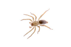 Grey brown spider on a white background Royalty Free Stock Photos