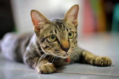 Grey brown  striped cat Stock Image