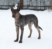 Grey and brown young mongrel dog standing on snow Stock Photo