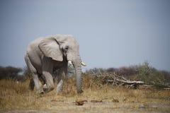 Grey Bull Elephant grande que marcha dentro para beber imagens de stock